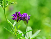 Alfalfa flower  Medicago sativa. Alfalfa flower. Alfalfa Medicago sativa, also called lucerne, is a perennial flowering plant in the pea family. Its cultivated Stock Photography