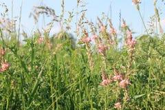 Alfalfa flowers Stock Photos
