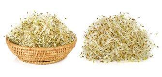 Alfalfa germogliato Immagini Stock Libere da Diritti