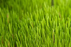Alfalfa Grass. Taken at a Farmer's Market in San Diego, CA Royalty Free Stock Images