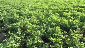 Alfalfa green background stock footage