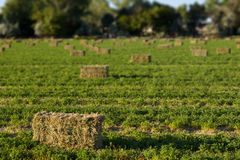 Alfalfa Hay Bales in Field Royalty Free Stock Photo