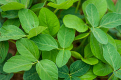 Alfalfa Leaves Stock Photo
