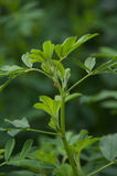 Alfalfa Leaves. A sprig of alfalfa leaves Royalty Free Stock Image