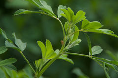 Alfalfa Leaves. A sprig of alfalfa leaves royalty free stock photo