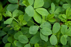 Alfalfa Leaves Royalty Free Stock Photo