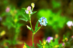 Alfalfa, Medicago sativa, also called lucerne Royalty Free Stock Photography