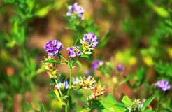 Alfalfa, Medicago sativa, also called lucerne Royalty Free Stock Image