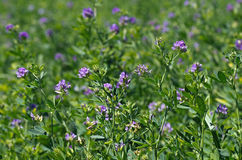Alfalfa. Medicago sativa, also called lucerne, is a perennial flowering plant in the pea family.  It is cultivated as an important forage crop in many Stock Photography