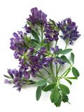 Alfalfa Medicago sativa Stock Photography