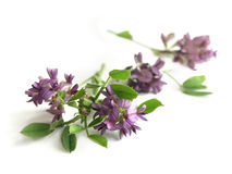 Alfalfa (Medicago sativa) Stock Photography
