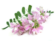 Alfalfa (Medicago sativa) Royalty Free Stock Photo