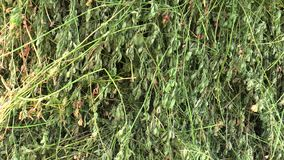 Alfalfa Medicago sativa, it is also dried for hay, used in agriculture as a feed, it contains a lot of protein. And minerals, lucerne, family of legumes stock video footage