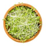 Alfalfa microgreens in wooden bowl over white Stock Photography