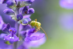 Alfalfa Plant Bug Stock Photos