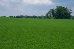 Alfalfa pole Zdjęcie Stock