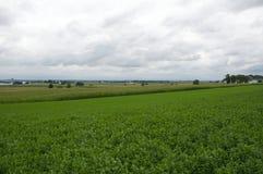 Alfalfa pole Fotografia Stock