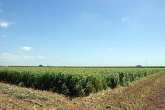 alfalfa pole Zdjęcie Royalty Free