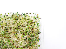 Alfalfa & radish sprouts. Green, healthy, organic alfalfa and radish sprouts mixtures - great for salads. Presented clear plastic container on clean white Stock Photography