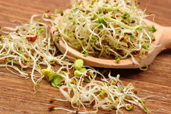 Alfalfa and radish sprouts on scoop, wooden background Royalty Free Stock Image