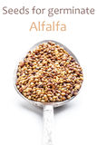 Alfalfa seeds. For germination in spoon Royalty Free Stock Photos