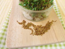 Alfalfa seeds and sprouts Royalty Free Stock Photo