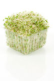 Alfalfa Sprout Royalty Free Stock Images