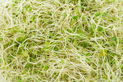 Alfalfa Sprout Stock Image