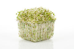 Alfalfa Sprout Stock Photography