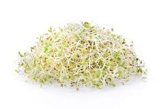 Fresh Alfalfa Sprout on white background. Alfalfa Sprout on white background royalty free stock photo