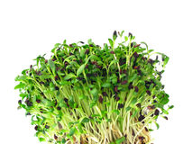 Free Alfalfa Sprouts Royalty Free Stock Photo - 13460955