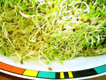 Alfalfa sprouts. Salad of alfalfa sprouts in modern plate stock image
