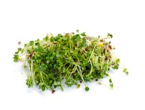 Alfalfa sprouts Stock Images