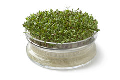 Alfalfa sprouts growing in a glass container Stock Photo