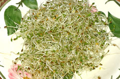 Alfalfa sprouts Royalty Free Stock Images