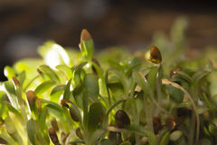 Alfalfa Sprouts Stock Image