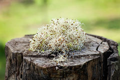 Alfalfa sprouts. Heathy eating food. Alfalfa sprouts on wood Stock Photography