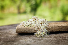 Alfalfa sprouts Royalty Free Stock Image