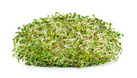 Alfalfa sprouts isolated on white background Stock Image