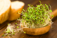 Alfalfa Sprouts. Sprouted alfalfa seeds on wooden spoon (Very Shallow Depth of Field, Focus on sprouts in the front Royalty Free Stock Image