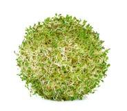 Alfalfa sprouts on white background Stock Image