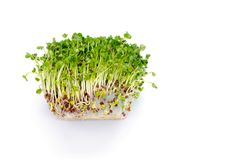 Alfalfa sprouts royalty free stock photography
