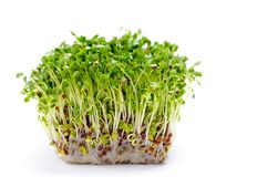 Alfalfa sprouts stock photo
