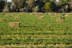 Alfalfa w Polu Obrazy Royalty Free