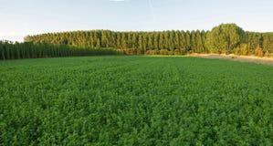 Alfalfaflygturer och träd i bakgrunden Fotografering för Bildbyråer