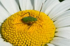Alfalfa Plant Bug - Adelphocoris lineolatus. An Alfalfa Plant Bug nymph resting on the disk of an Ox-eye Daisy flower. Also known as Mirid, Grass, or Leaf Bugs Stock Images
