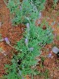 A alfazema é uma planta com um aroma inconfundível que transforme esta planta na joia da tranquilidade imagem de stock royalty free
