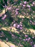 Alfazema Foto de Stock