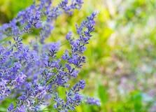 A alfazema bonita floresce o arbusto no jardim Imagens de Stock Royalty Free