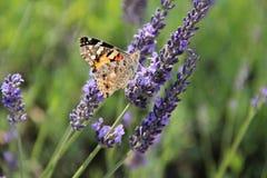 Alfazema bonita no verão com borboleta Imagem de Stock Royalty Free
